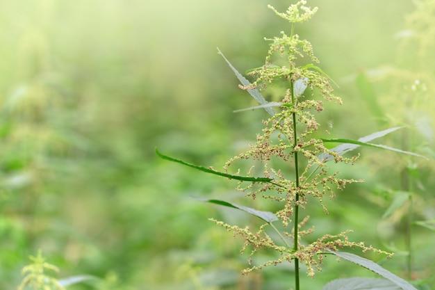 Brennnesselpflanze in der natur unter sonnenlicht. selektiver fokus. natürlich mit kopierraum. pflanze.