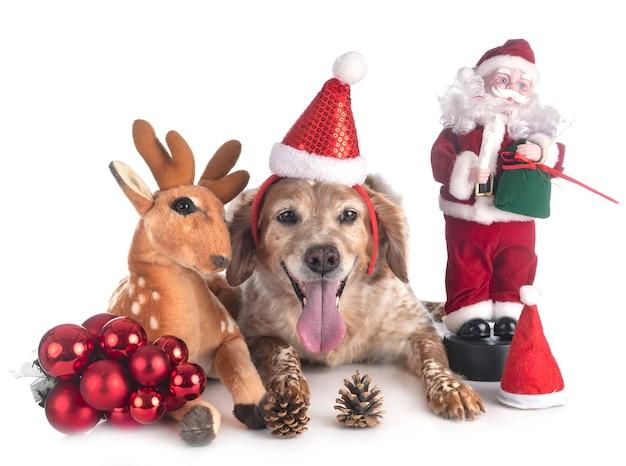 Bretagne-hundetier im weihnachten