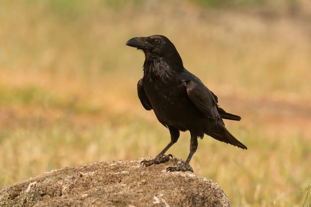 Brigh schwarzes gefieder einer krähe
