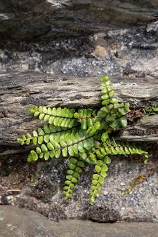 Brightgreen milzkraut (asplenium trichomanes) wächst auf der alten steinbrücke bei simonsbath