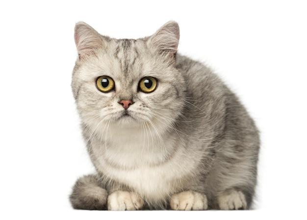 Britisch kurzhaar kätzchen liegend und in die kamera schauend