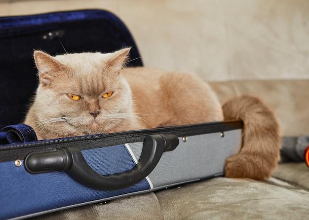 Britische graue katze sitzt in einem fall für geige, platz für text