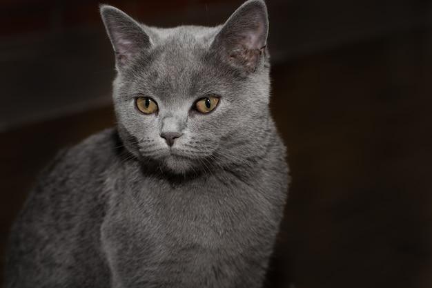 Britische katze auf schwarzem hintergrund. nahansicht.