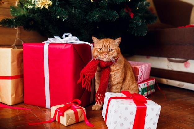 Britische katze des ingwers im roten gestrickten schal, der unter weihnachtsbaum und präsentkartons sitzt.