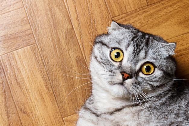 Britische katze, die auf dem boden liegt. überraschte schottische katze auf dem boden mit kopierraum