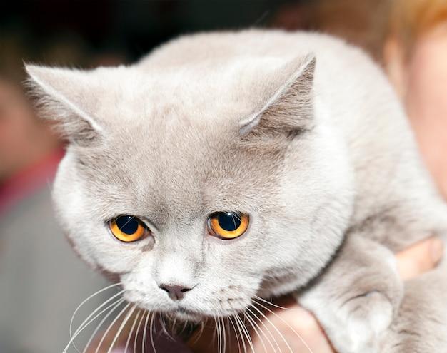 Britische katze, in nahaufnahme fotografiert. kopf
