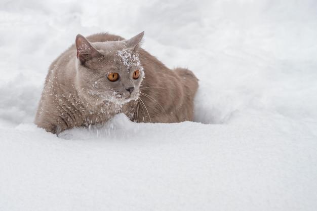 Britische katze mit großen gelben augen im winterschnee. nahaufnahme, vorgewählter fokus
