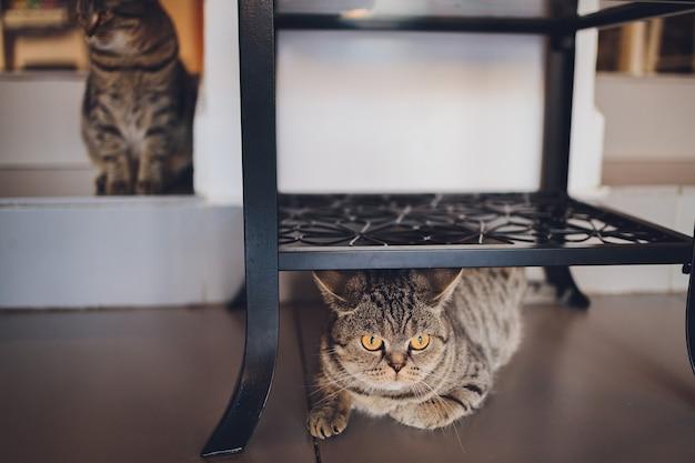 Britische katze zu hause, die unter dem schrank sitzt.