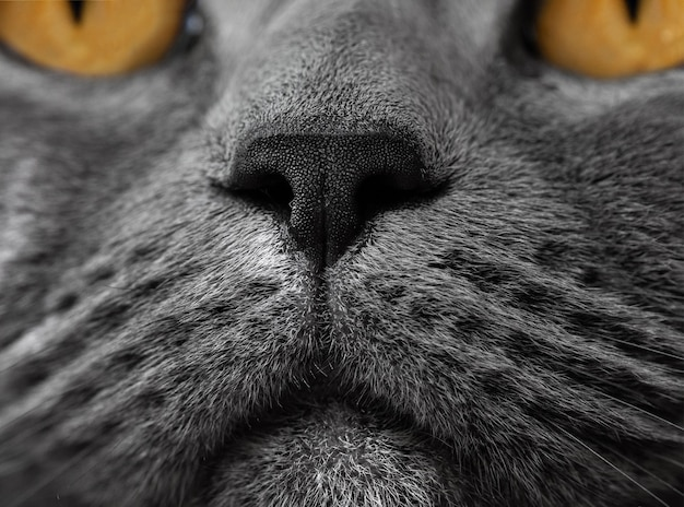 Britische katzennase nahaufnahmefoto