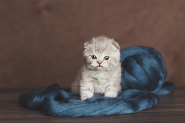 Britisches kätzchen, eingewickelt in blaues garn