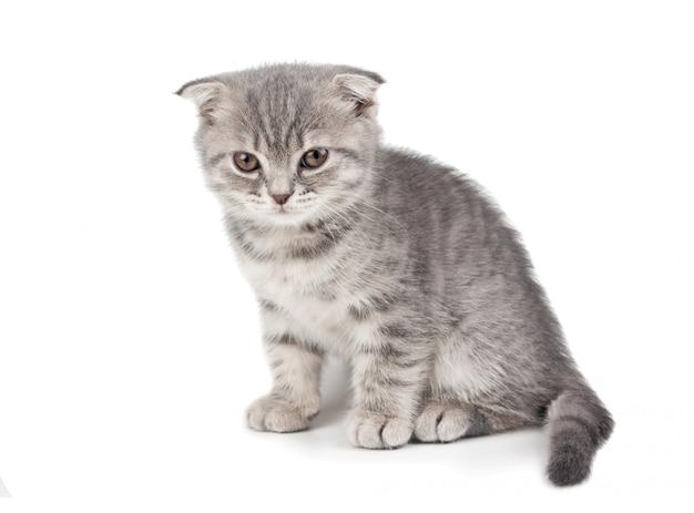 Britisches kätzchen lokalisiert auf weißem hintergrund