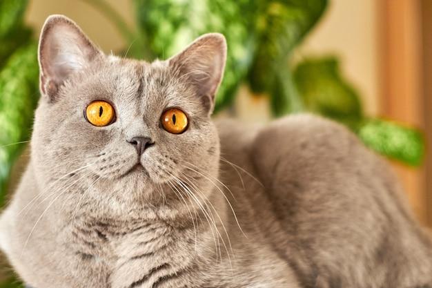 Britisches katzenporträt gegen grüne pflanze.