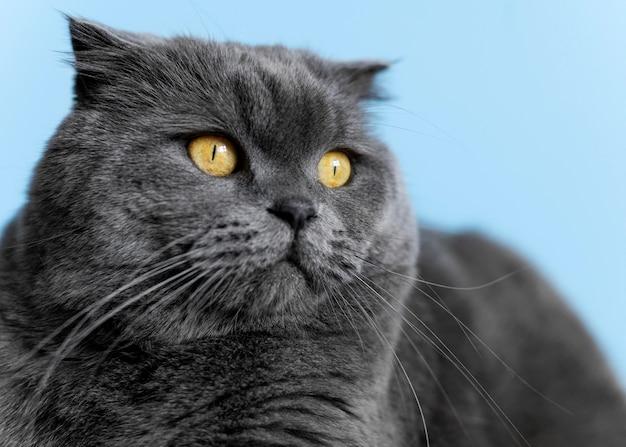 Britisches kurzhaarkätzchen mit monochromer wand hinter ihr