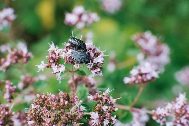 Bronze wollkäfer sitzen auf einer lila oreganoblume, selektiver fokus