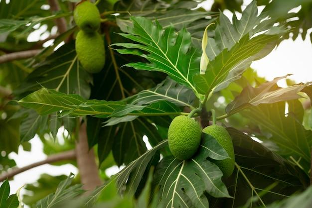 Brotfrucht auf brotfruchtbaum mit grünen blättern im garten.