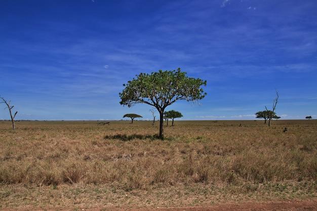 Brotfrucht auf safari in kenia und tansania, afrika