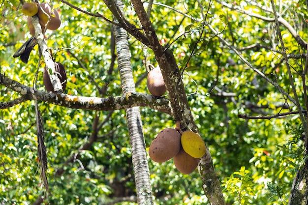Brotfruchtbaum auf der insel mauritius