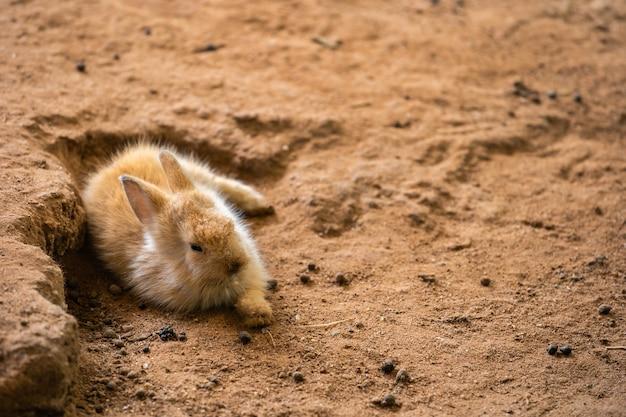 Brown baby rabbit oder bunny oder hare ruhen auf dem boden