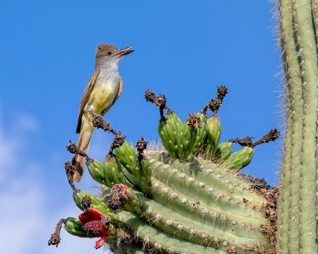 Brown crested flycatcher thront auf saguaro cactus mit insekt im schnabel
