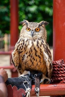 Brown eagle adult horned owl sitzt auf menschlicher hand bedeckt mit handschuh im zoo
