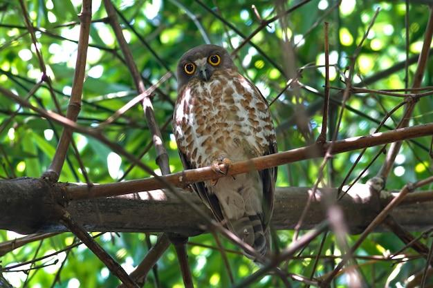 Brown-falkeule brown boobook ninox scutulata schöne vögel von thailand