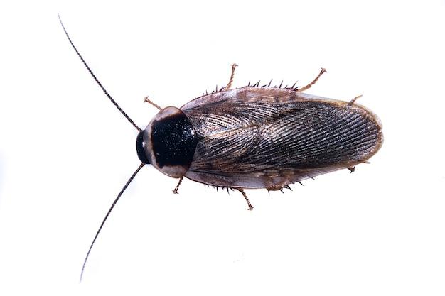 Brown-insekt auf weißem hintergrund
