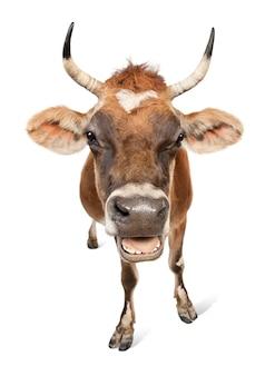 Brown jersey kuh auf einem weißen isoliert