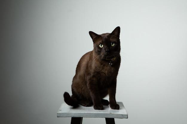 Brown-katze, die auf stuhl mit studiobeleuchtung sitzt