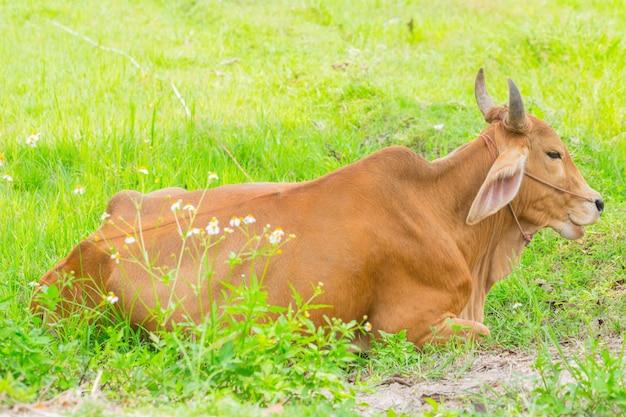Brown-kuhrest in der grünen rasenfläche, thailändische asiatische tierlandschaft.