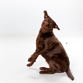 Brown labrador retriever posiert