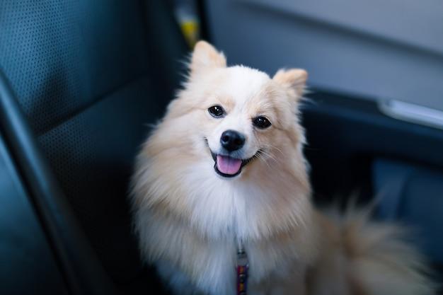 Brown pomeranian hund, der vorwärts im fahrzeug schaut