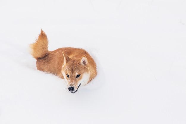 Brown-rassehund, der auf das schneebedeckte feld geht. shiba inu