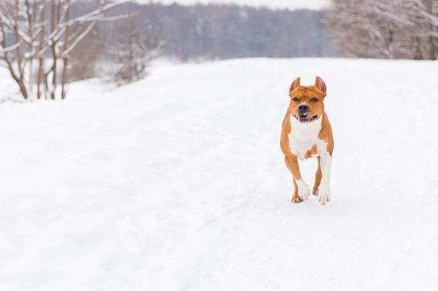 Brown-rassehund, der auf dem schnee in einem wald läuft. staffordshire-terrier