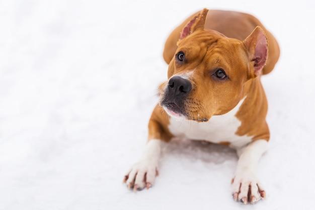 Brown-rassehund, der auf dem schnee in einem wald liegt. staffordshire-terrier
