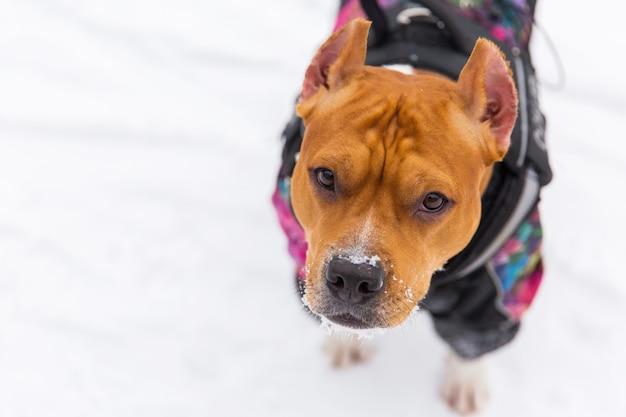 Brown-rassehund, der auf dem schnee in einem wald sitzt. staffordshire-terrier