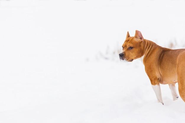 Brown-rassehund, der auf dem schnee in einem wald wolking ist. staffordshire-terrier