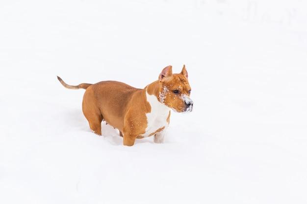Brown-rassehund, der auf den schnee in einem wald geht. staffordshire-terrier