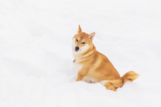 Brown-rassehund, der im schnee auf einem feld sitzt. shiba inu