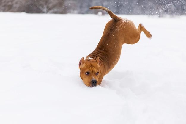 Brown-rassehund, der in den schnee in einem wald springt. staffordshire-terrier