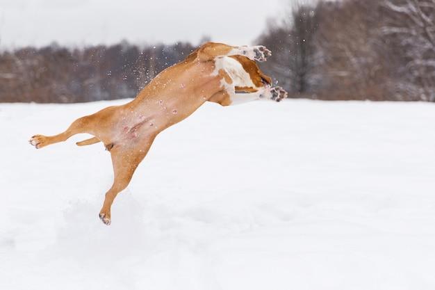 Brown-rassehund, der in den schnee in einem wald springt. staffordshire-terrier Premium Fotos