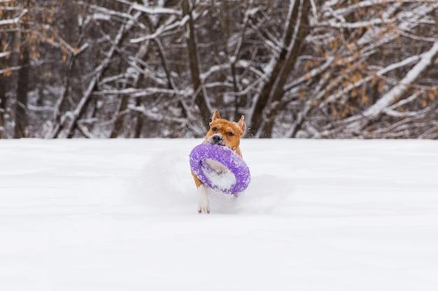 Brown-rassehund, der mit rundem spielzeug im schnee in einem wald spielt. staffordshire-terrier