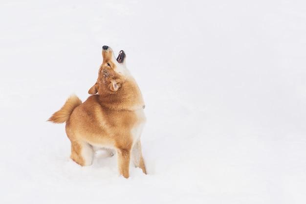 Brown-rassehund, der mit schnee auf einem feld spielt. shiba inu. schöner hund