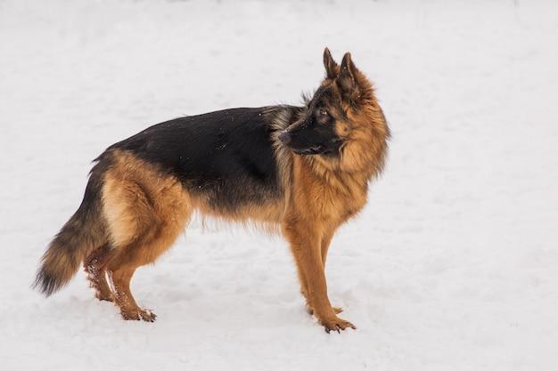 Brown-schäferhund, der auf den schnee im park auf dem spielplatz geht. gehender hund