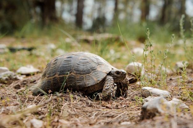 Brown-schildkröte, die aus den grund in den park kriecht