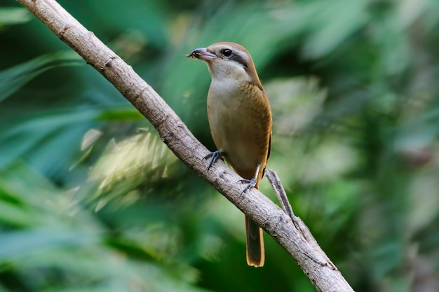 Brown shrike lanius cristatus