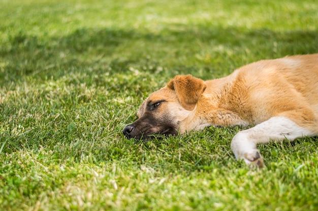 Brown-streunender hund, der auf dem gras in einem park liegt