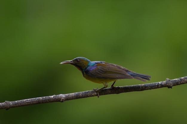 Brown throated sunbird hockt auf niederlassung