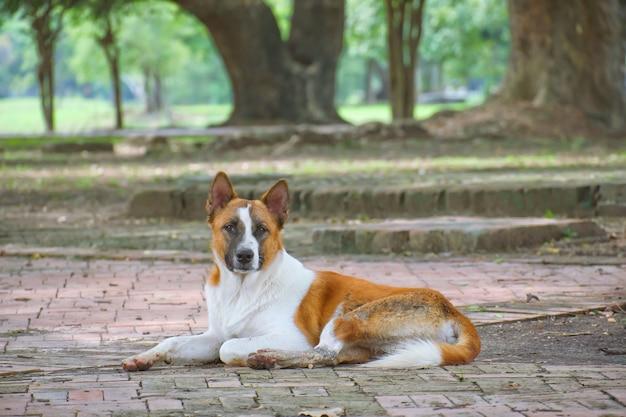 Brown und weißer hund schlafen auf dem boden am allgemeinen park und betrachten die kamera.