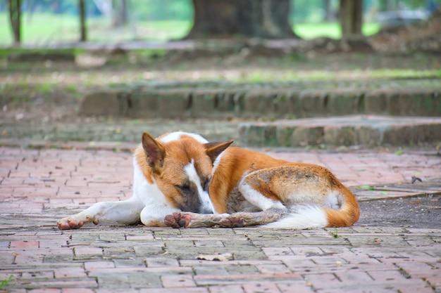 Brown und weißer hund schlafen auf dem boden am allgemeinen park.