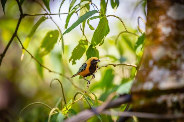 Brüniert-buff tanager (tangara cayana) aka saira amarela vogel stehend auf einem baum